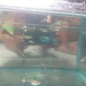 Ikan Guppy Lokal Campur Murah