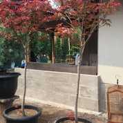 Pohon Red Maple