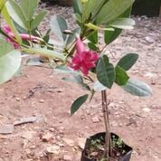 Pohon Bibit Tabebuya, Bunga Pink, Kuning, Ungu