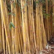 Pohon Bambu Kuning,Bambu Jepang