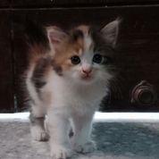 Kucing Mix Anggora Persia