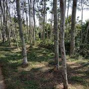 Tanah Beserta Pohon Sengon Jabung Malang