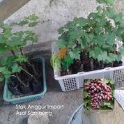 Bibit Anggur Import Wink