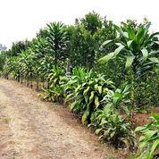 Kebun Jeruk Produktiv ,Siap Panen Cocok Buat Investasi