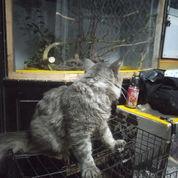 Kucing Anggora...