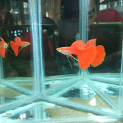 Ikan Guppy Albino Full Red Ribbon Afr Ribbon Ecer Grosir