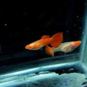 Ikan Guppy Albino Koi Glassbelly Ecer Grosir