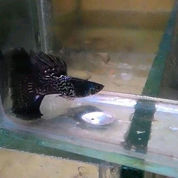Ikan Guppy Metal Black Tail Blacktail Murah Ecer Grosir
