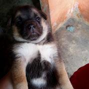 Anak Anjing Mix Pomerian