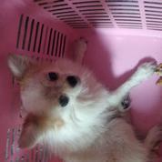 Anjing Chihuahua Dewasa