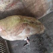 Ayam Kalkun Brownbourn Jantan