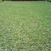 Rumput Gajah Mini | WA 089609830376