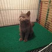 Kitten British Shorthair
