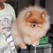Anjing Mini Pom Coklat Lucu