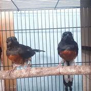 Burung Murai Medan Sepasang