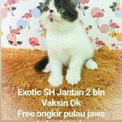 Kucing Exotic Shorthair SQ