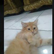 Kitten Persia Kuning 3 Bulan Betina