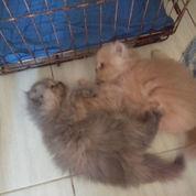 Kucing Persia Flatnose Kitten, Unyu Unyu..
