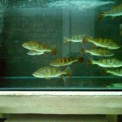Peacock Bass Monoculus 10cm