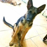 Anjing Herder German Shepperd Jantan 4 Bln