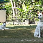 Pet Service; Penitipan Anjing Pole Dog Stay