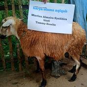 Domba Betina Type A Plus Biaya Masak