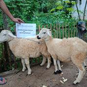 Domba Betina Type B Plus Biaya Masak