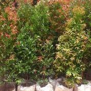 Tukang Pohon Pucuk Merah | Pohon Bibit Pucuk Merah Murah