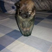 Anjing Shih Tzu, Chihuahua & Pom Mulai Berat 300 Gr