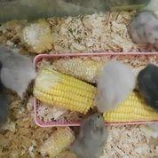 Hamster Anggora Syrian Gak Gigit