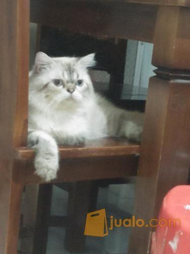 Download 99+  Gambar Kucing Anggora Himalaya Terbaik