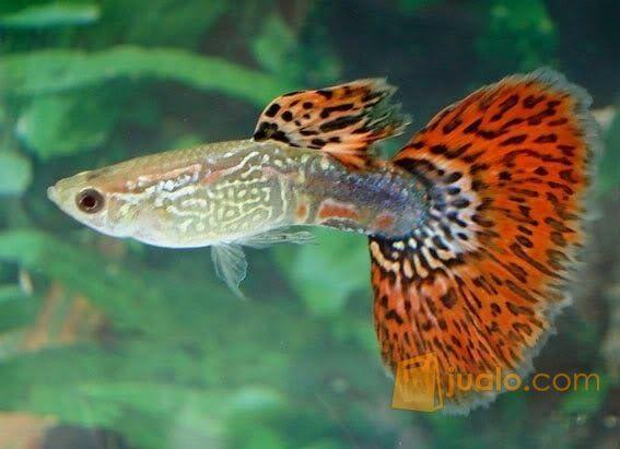 850 Gambar Hewan Ikan Guppy HD Terbaik