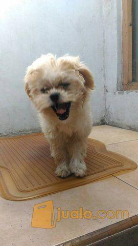 Anjing ras peking mix hewan dan perlengkapan anjing 11007511