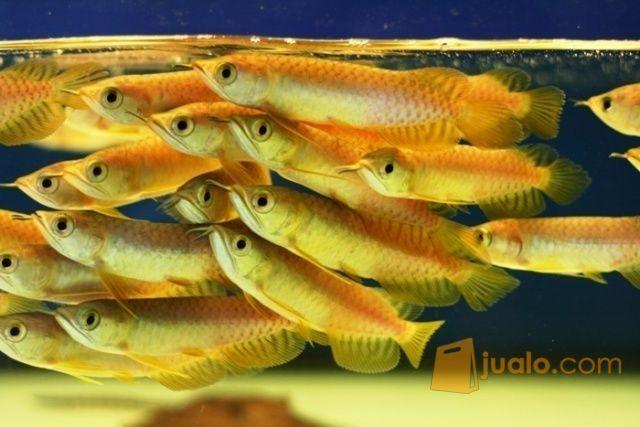 Arwana anakan induk hewan dan perlengkapan ikan 11305737