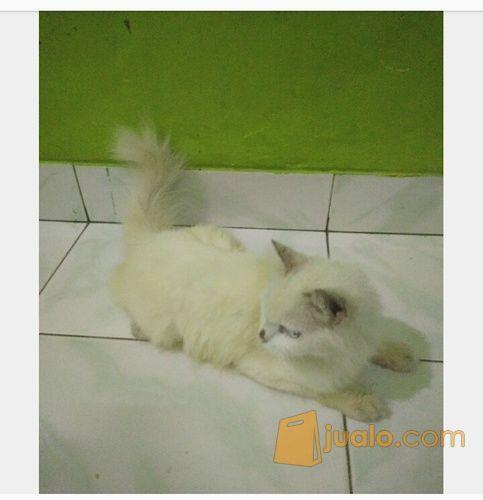 Unduh 63+  Gambar Foto Kucing Anggora Lucu Terlihat Keren HD