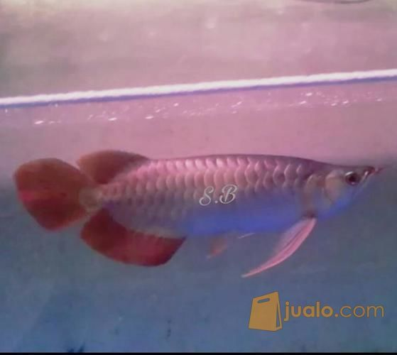 Arwana super red 34 c hewan dan perlengkapan ikan 12352261