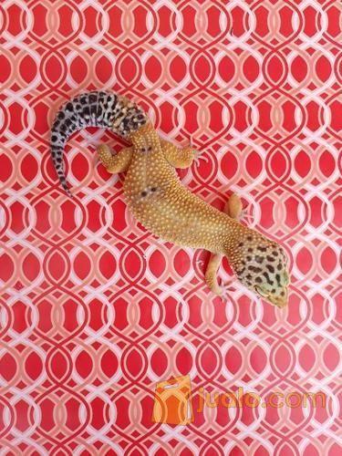 35++ Gambar hewan gecko terbaru