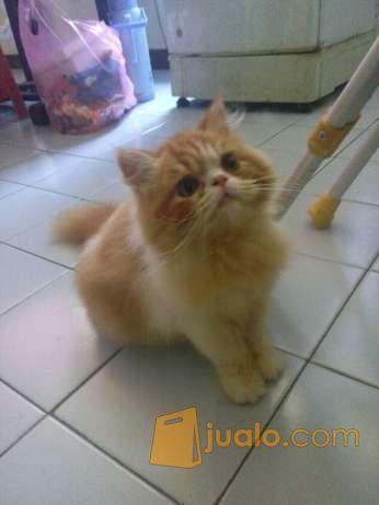 Unduh 66+  Gambar Kucing Anggora Murah Paling Lucu