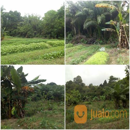 Tanah kebun luas 8500 tanah dijual 13033133