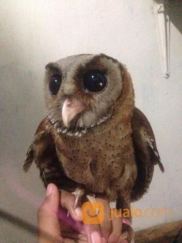 Download 70  Gambar Burung Hantu Celepuk  Paling Bagus Gratis