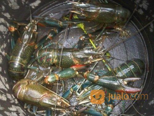 Indukan lobster perlengkapan industri 13155523