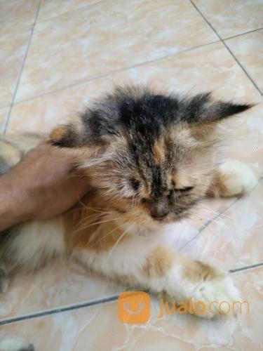 Unduh 100+  Gambar Kucing Persia Pesek Paling Bagus Gratis