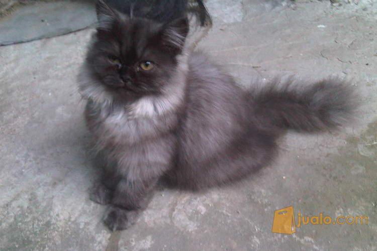 Unduh 78+  Gambar Kucing Anggora Abu2 Paling Imut Gratis