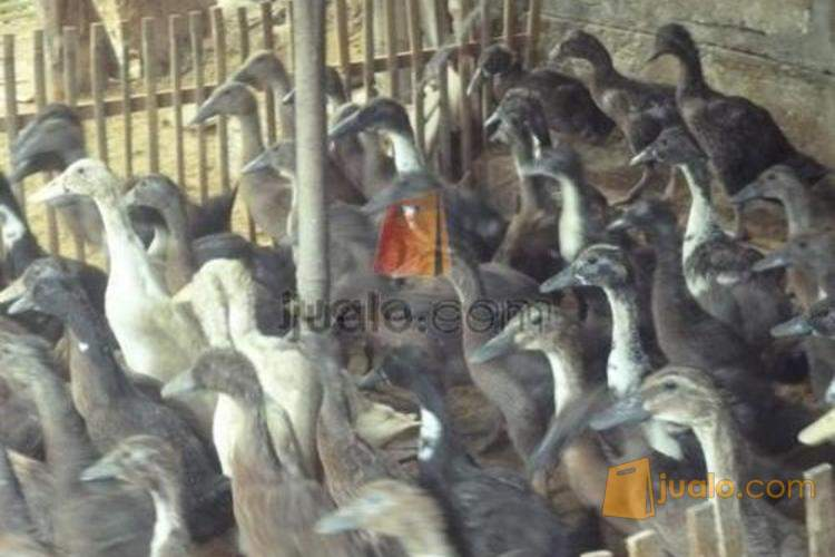 76+ Gambar Bebek Potong Paling Hist