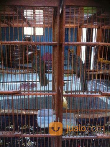 Sepasang cucak rowo s burung dan unggas lainnya 14115379