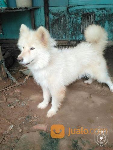 15+ Anak anjing husky putih terupdate
