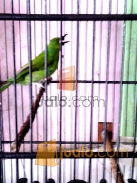 9800 Gambar Hewan Burung Kicau Gratis