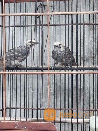 Sepasang anakan cucak burung dan unggas lainnya 14298849