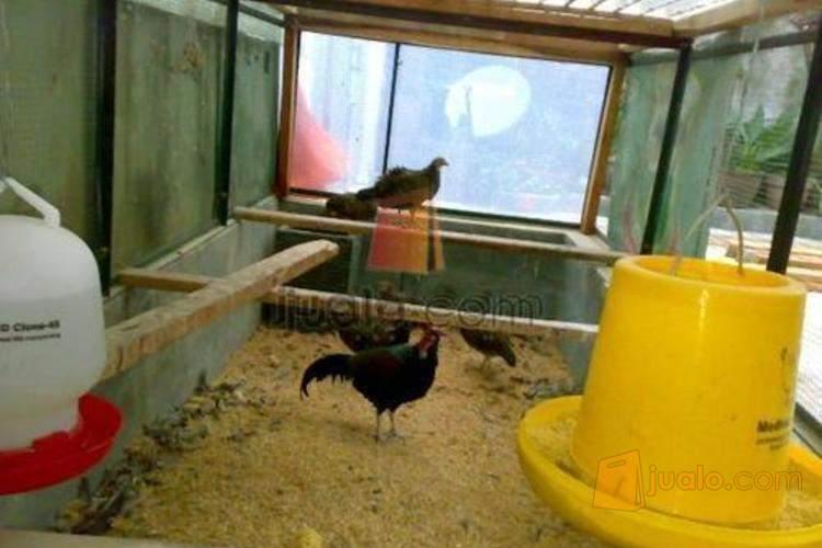 76 Gambar Ayam Hutan Hijau Terbaik