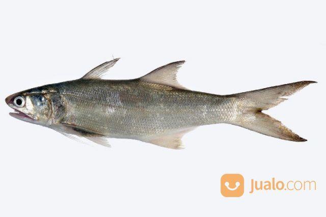 Foss seafood ikan kur kebutuhan rumah tangga makanan 14680639